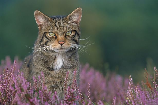 Scottish%20wildcat%20in%20Cairngorms%20National%20Park.jpg