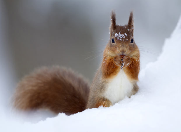 snow-squirrel_1826460i.jpg