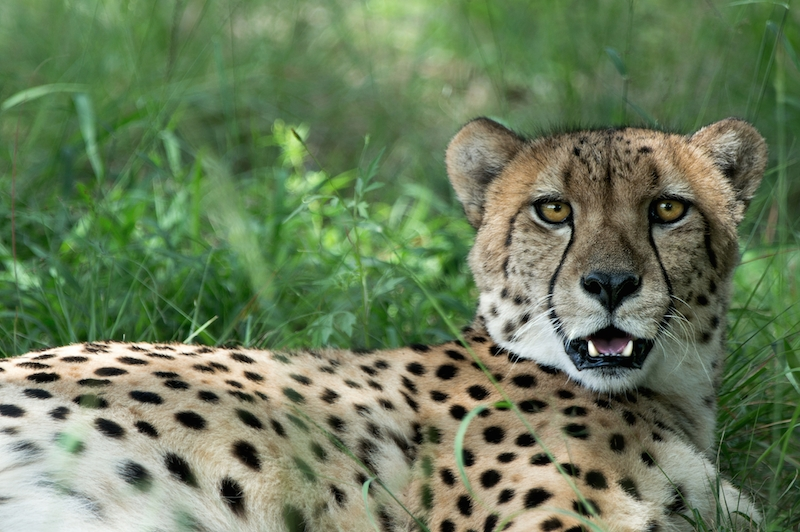 Shingwedzi cheetah ranch — Interesting Facts and Activities