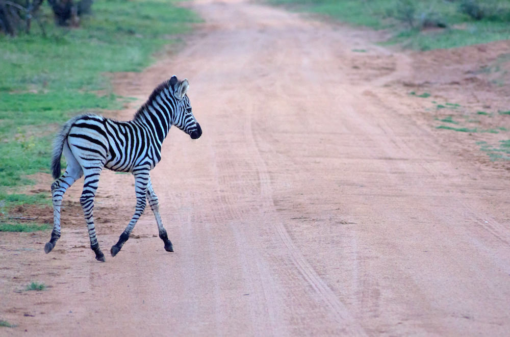 Mabalingwe Zebra fowl |  © Photography by Marthinus Duckitt