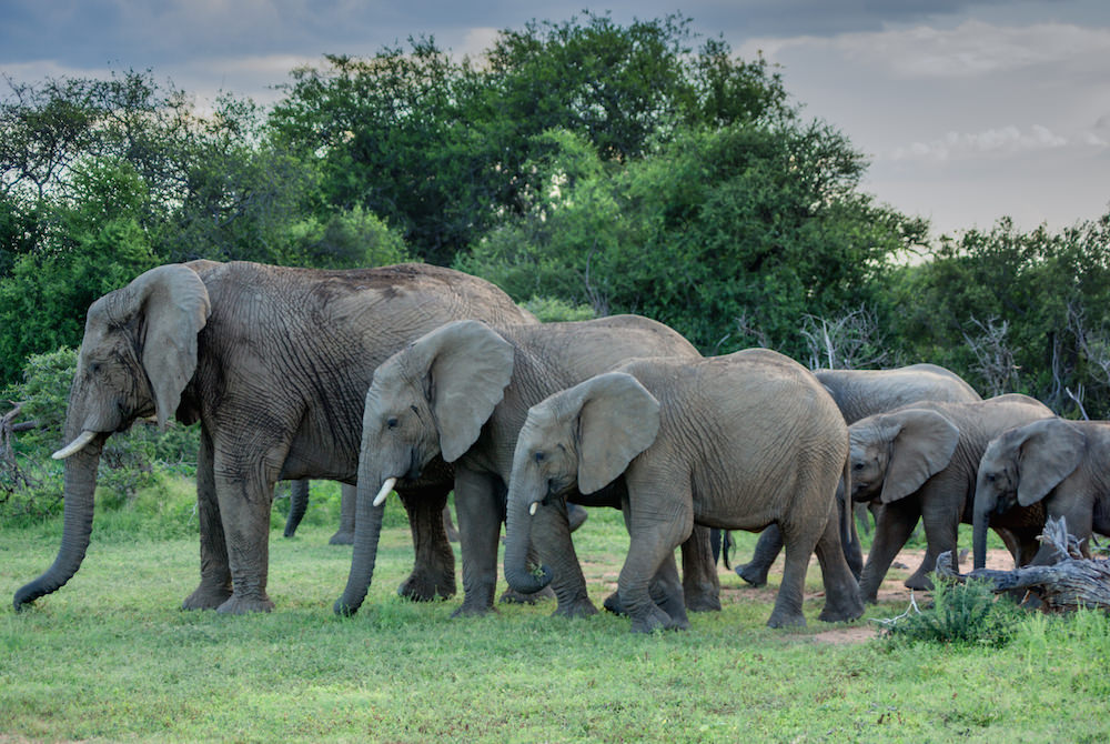 The Mabalingwe Elephant Herd   |   © Photography by Marthinus Duckit