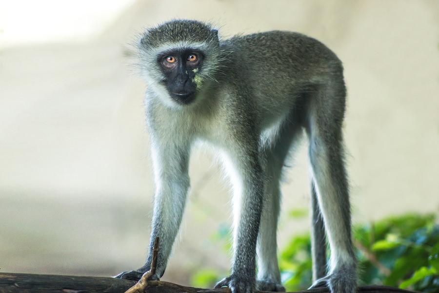Vervet Monkey at Mabalingwe Nature Reserve |  © Photography by Marthinus Duckitt
