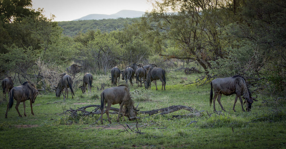 Wildebeest at Mabalingwe  |     ©   Photography by Marthinus Duckitt