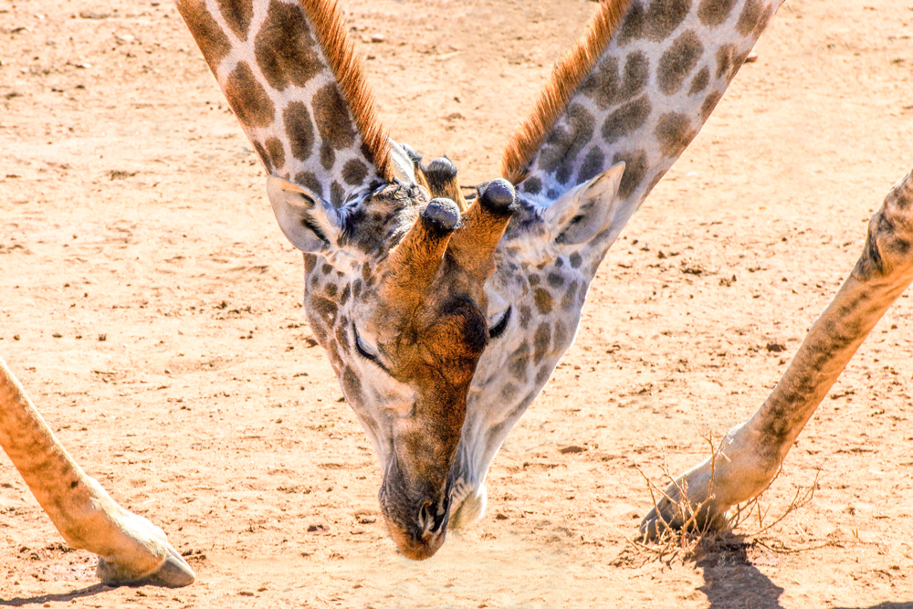 Mabalingwe Giraffe |   ©  Photography by Marthinus Duckitt