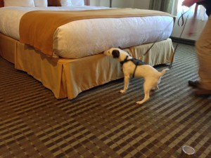 Bed Bug Detection Dog Sniffing Bed