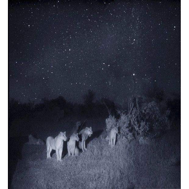 allcreatures: A group of lions at night taken using 'Starlight Camera' technology without artificial lighting, Masai Mara, Kenya, East Africa. Using both light-enhancing and heat-seeking cameras British photographer Martin Dohrn was able to capture rare footage and stills for the National Geo Wild and Nat Geo Wild HD documentary 'Night of the Lion' Picture: Nature Picture Library / Rex Features (via Pictures of the day: 9 November 2010 - Telegraph) I miss seeing the stars.