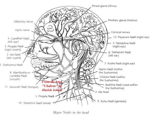 aetherlibrary :     The Nadis (Yoga) Of the Human Head.