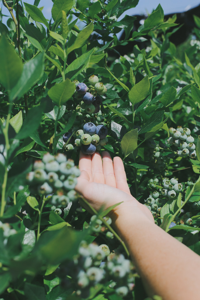 Blueberry Picking (15)