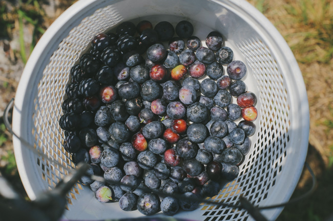 Blueberry Picking (6)