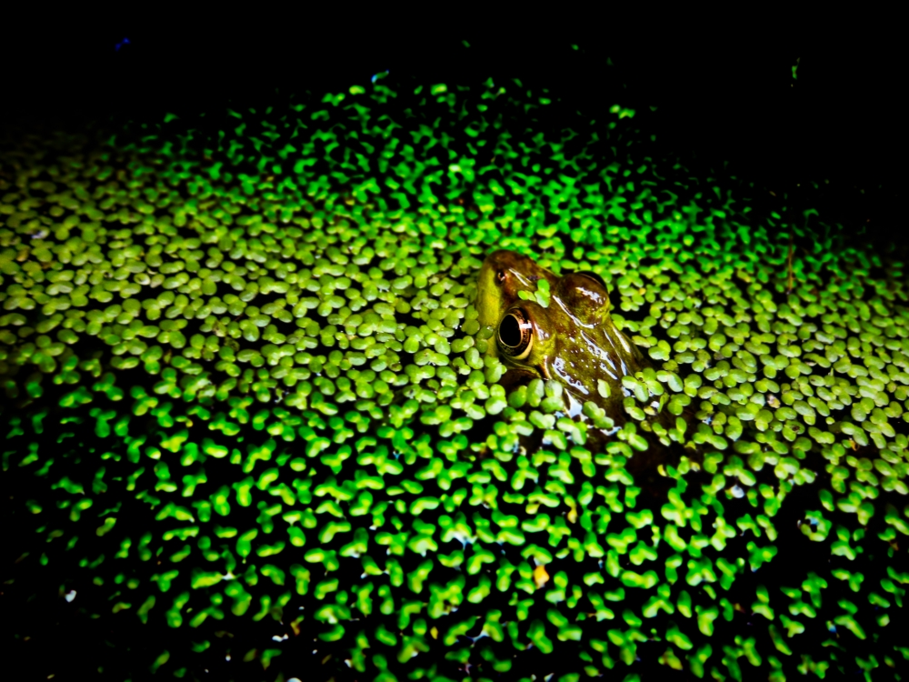 Camo-frog