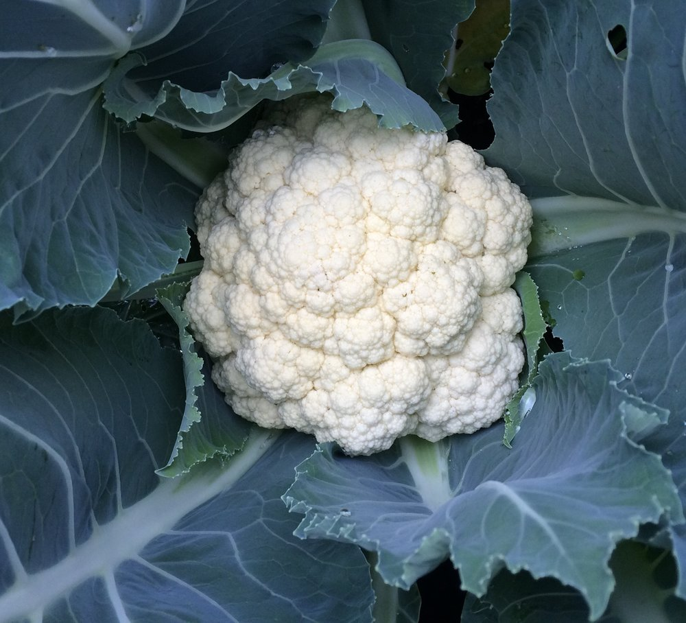 Last year I had several beautiful, enormous heads of cauliflower in my small garden.