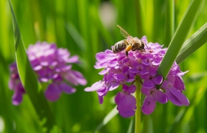 1401400_bee_on_iberis_flower