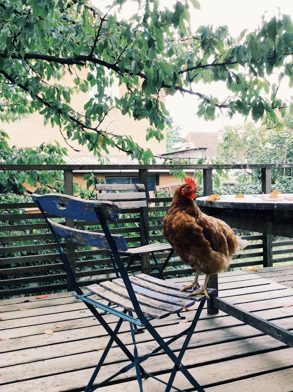 My hosts' chicken