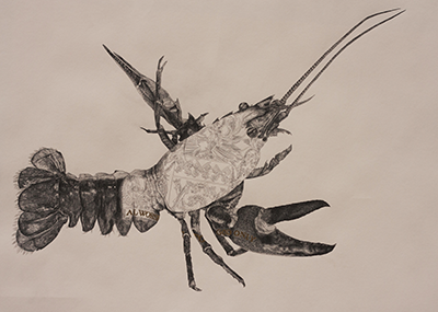 Crayfish pencil drawing by Chris Otley