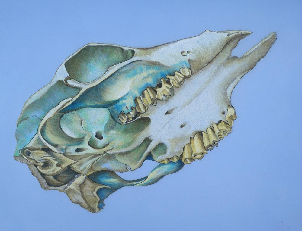 Bird-orchid Cowskull (blue).JPG