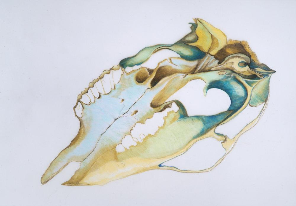 Cowskull-Orchid Bird.JPG