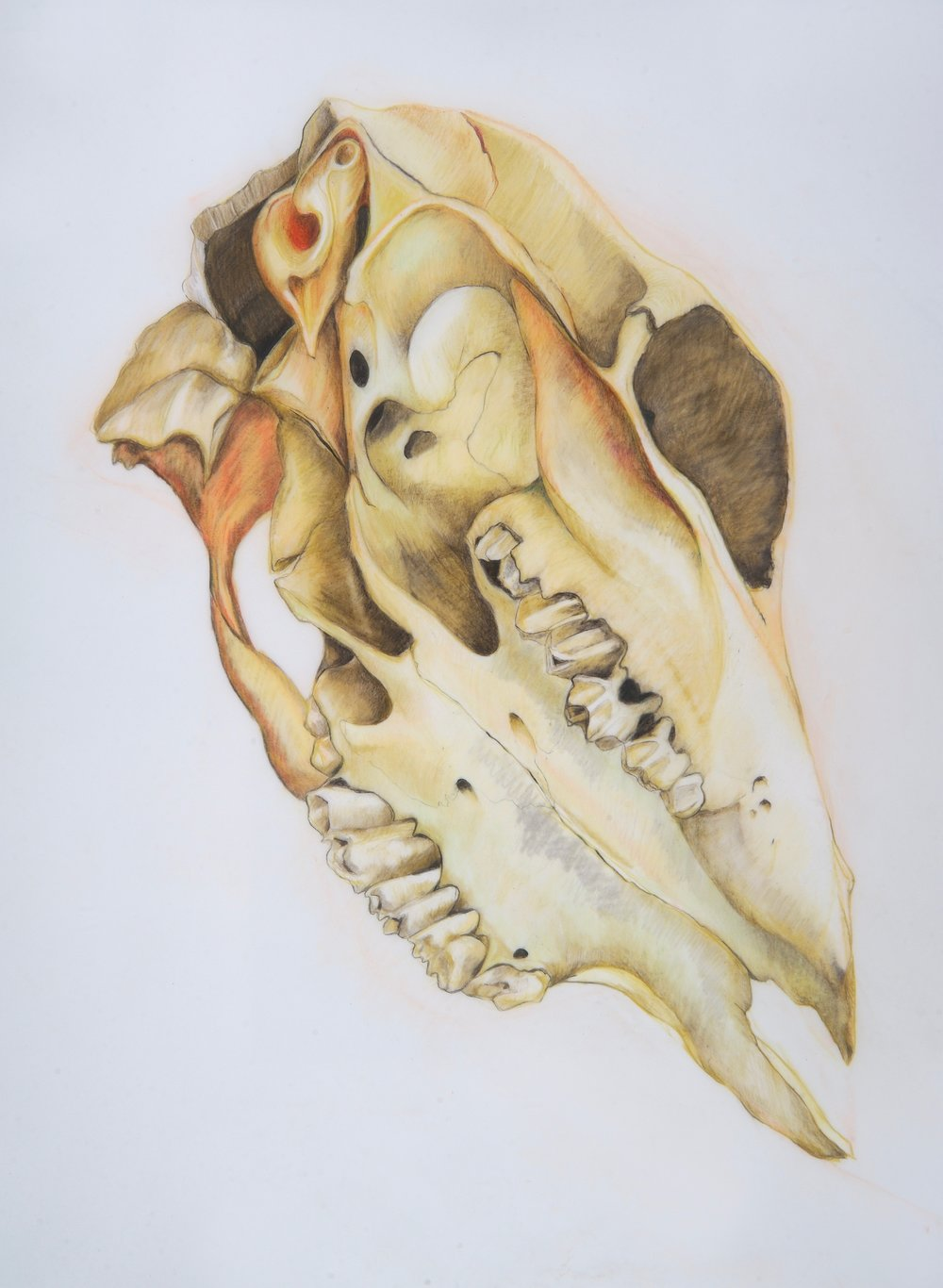 Bird-orchid Cowskull (1).jpg