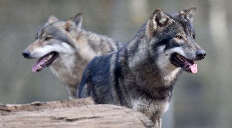 Wolves in Schleswig-Holstein in March. Photo: DPA