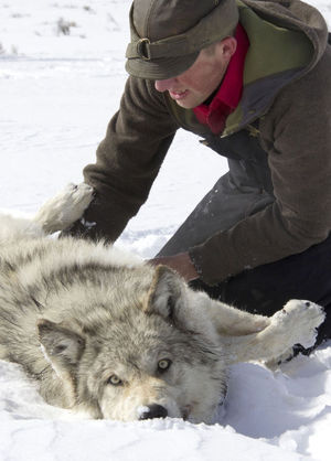 MARK GOCKE / WYOMING GAME AND FISH DEPARTMENT  Ken Mills, a Wyoming Game and Fish biologist, inspects a wolf from the Lava Mountain Pack in 2014.