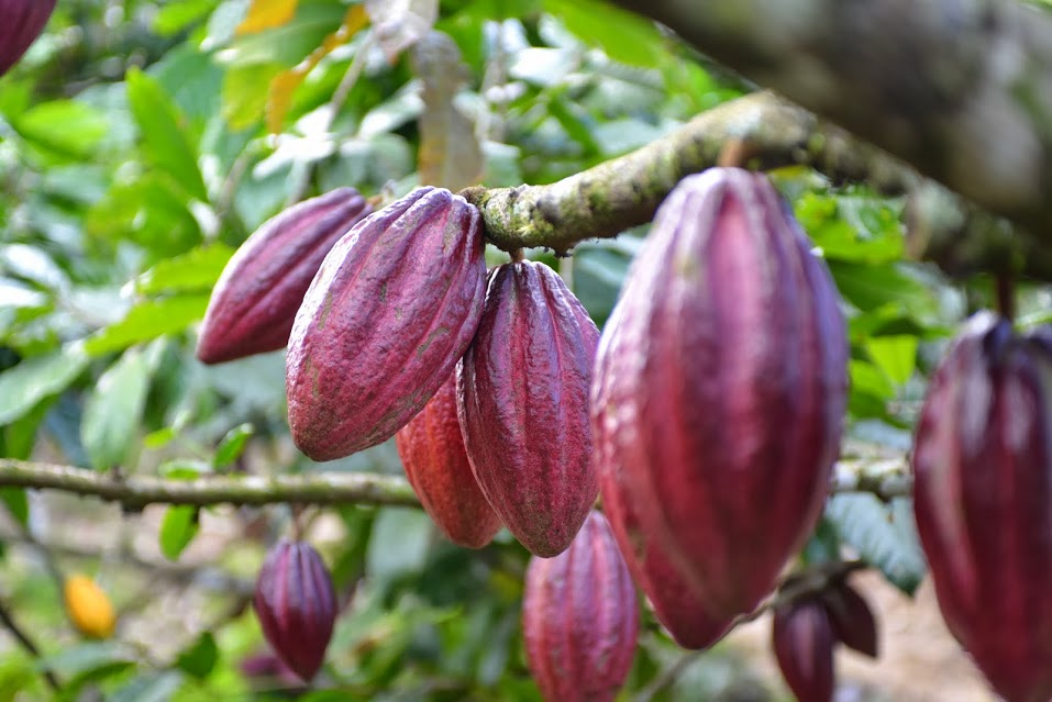 Meridian Cacao - Cacao