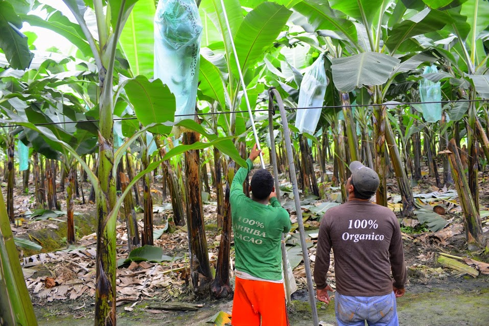 Camino Verde harvests Organic bananas on the farm as well as National Cacao.