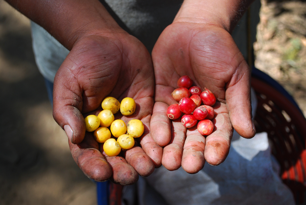 Two varieties of freshly picked coffee fruit