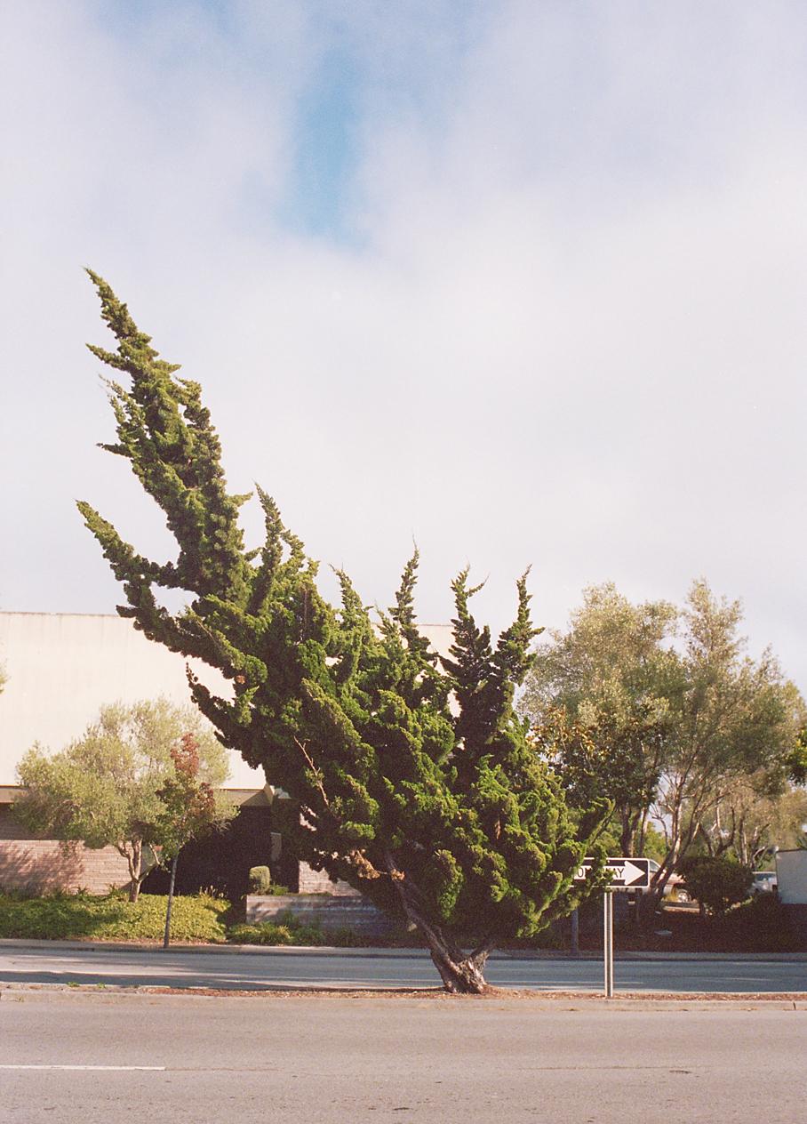 10.17.13-santa cruz tree.jpg