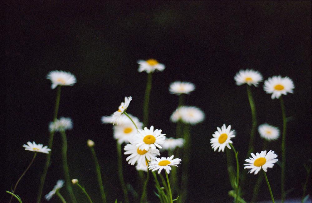 7.12.13-daisies.jpg