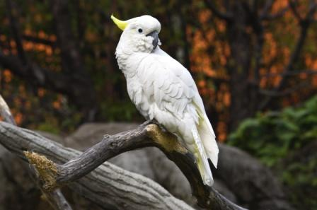 sulphurcrestedcockatoo.jpeg