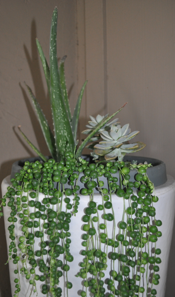 I love this string of pearls plant! I may have to fill the pot with a few more succulents, its looking a bit empty
