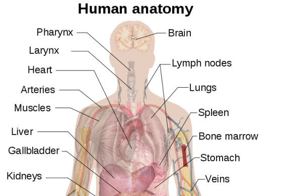 560px-Man_shadow_anatomy_svg.png