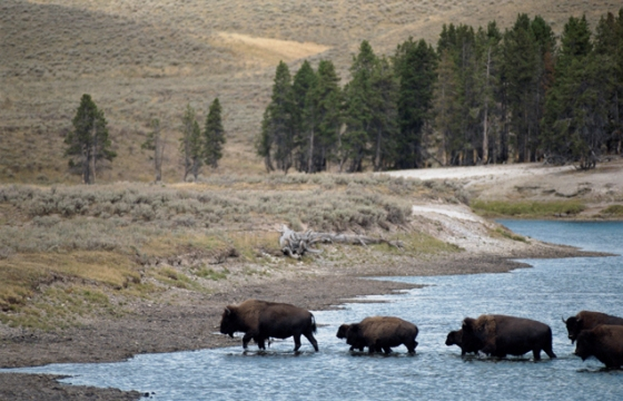 560px_buffalo_crossing_a_river_MSoft.jpg