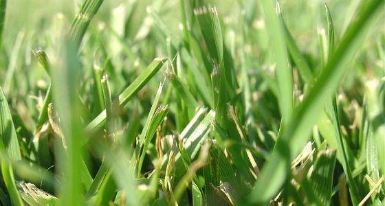 560px-Blades_of_grass.jpg