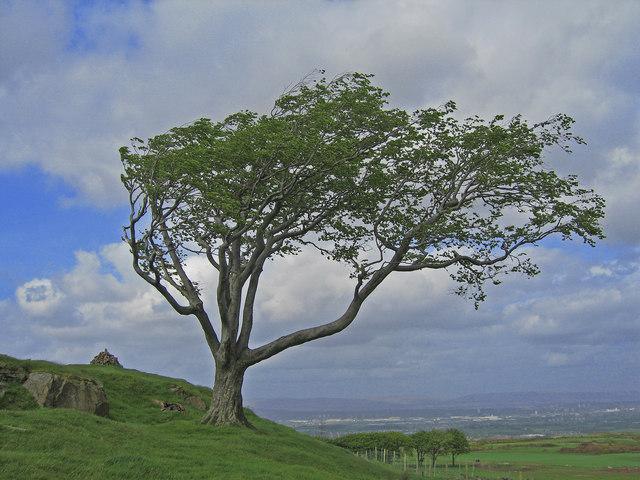 Wind Swept Tree, Fereneze Hills,  cc-by-sa/2.0  - ©  wfmillar  -  geograph.org.uk/p/1502759