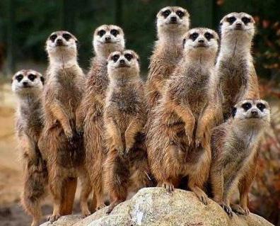 Meerkats by  Julian Lim on flickr.