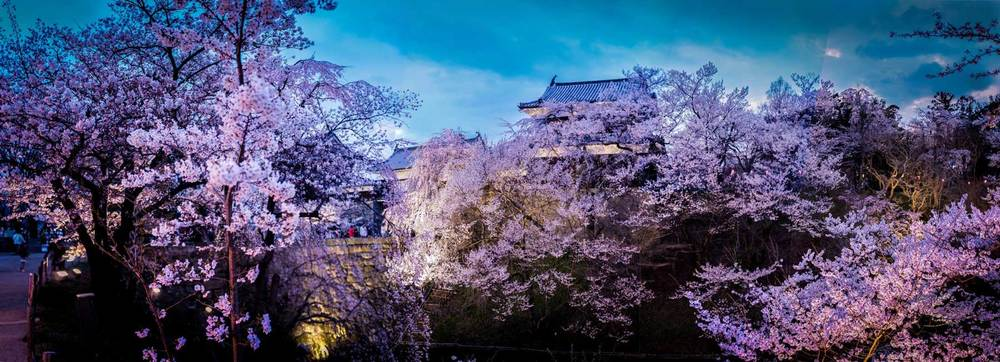 Cherry Blossoms at Uedajo at Night.