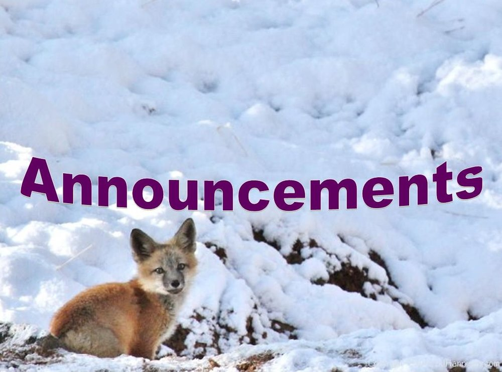 Red Fox Pup in Fresh Snow. Division of Wildlife. David Hannigan. Date taken: 5/12/2012.