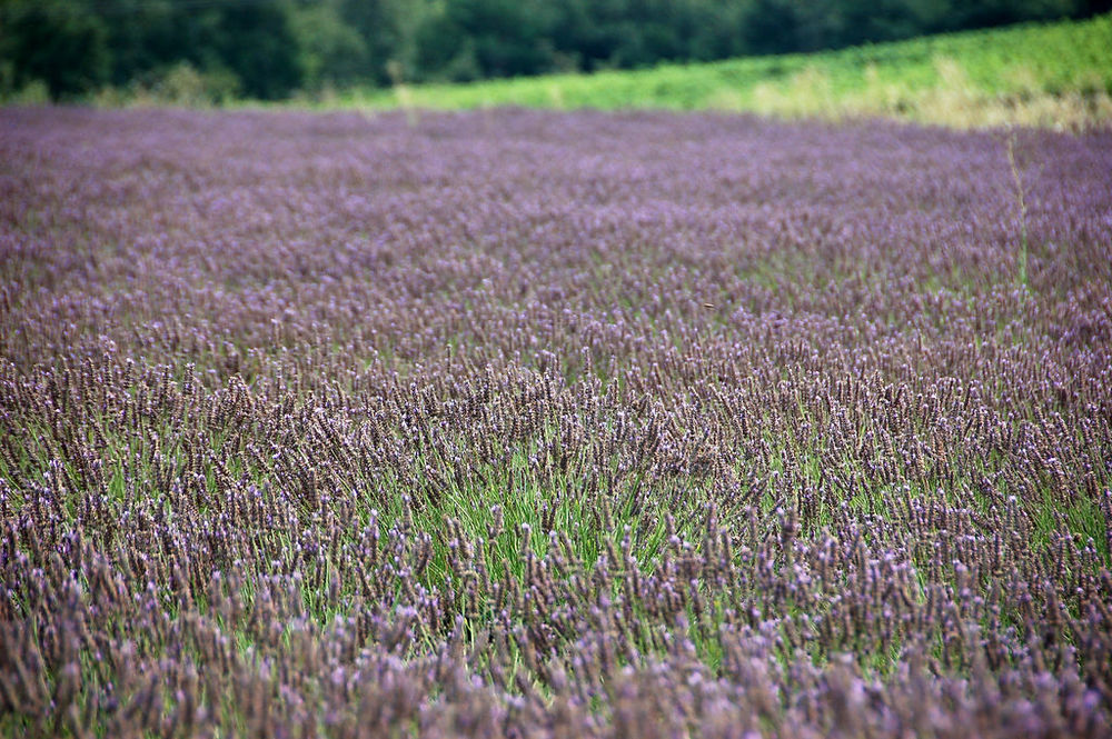 Lavender field in Vaucluse, France (Source: Wikipedia Commons/Mimova)