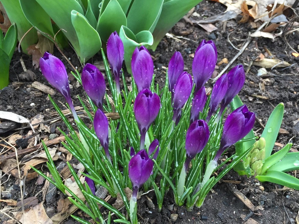 Crocuses popping up in my garden this morning.