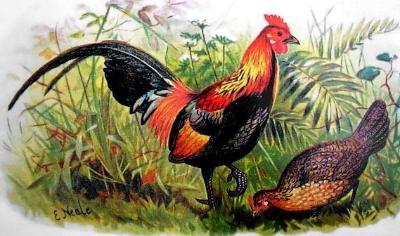 Red jungle fowl depicted in Game Birds of India, Burmah and Ceylon (1879-1881), by Edward Neale.