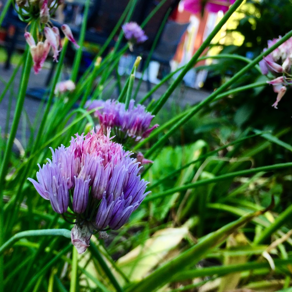 Chive blossoms in the Adventure Kitchen garden.