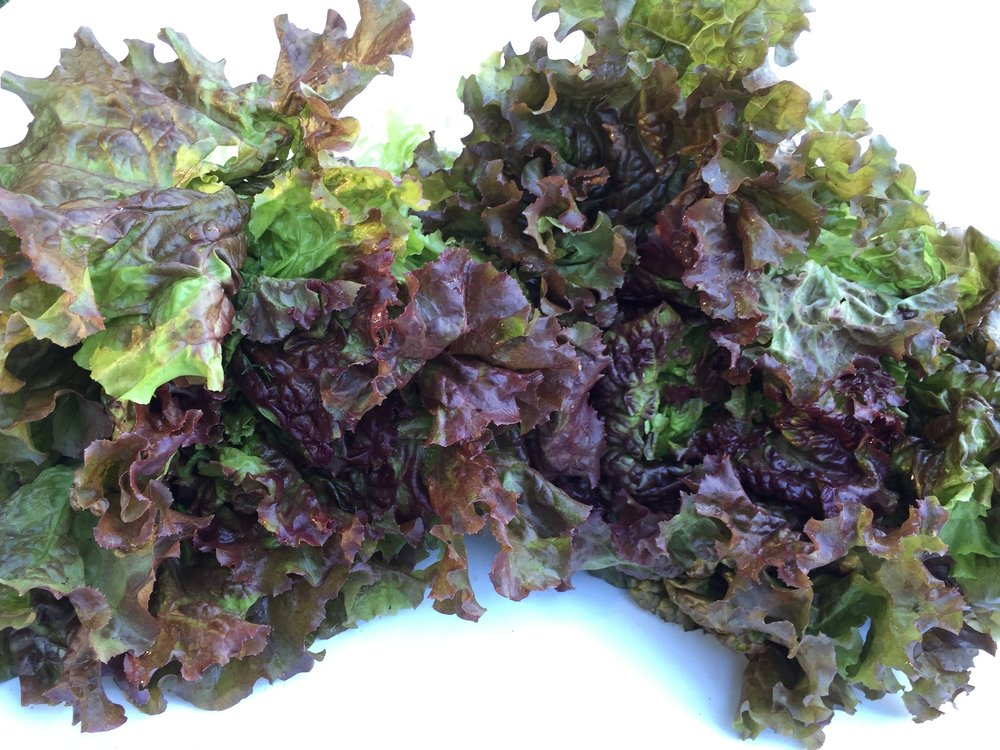 Red leaf lettuce from my CSA