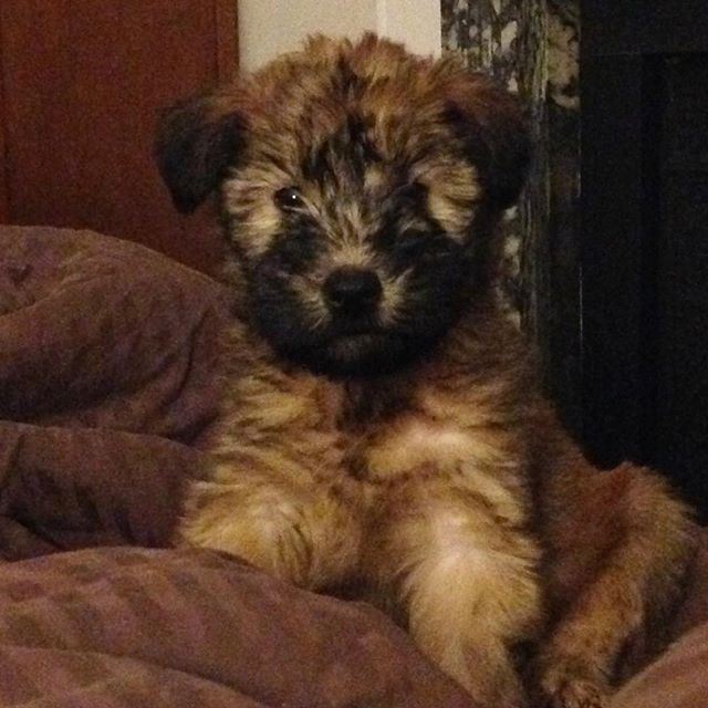 Four years ago yesterday, I drove up to Attleboro, MA and gave myself an early #Christmas present: my #wheatenterrier Bailey!