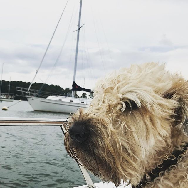 Wind in the sails, spray in her beard. Wheaten on the Chesapeake. . . . . . . #wheatensofinstagram #wheatenterrier #sailing #chesapeake #boatdog
