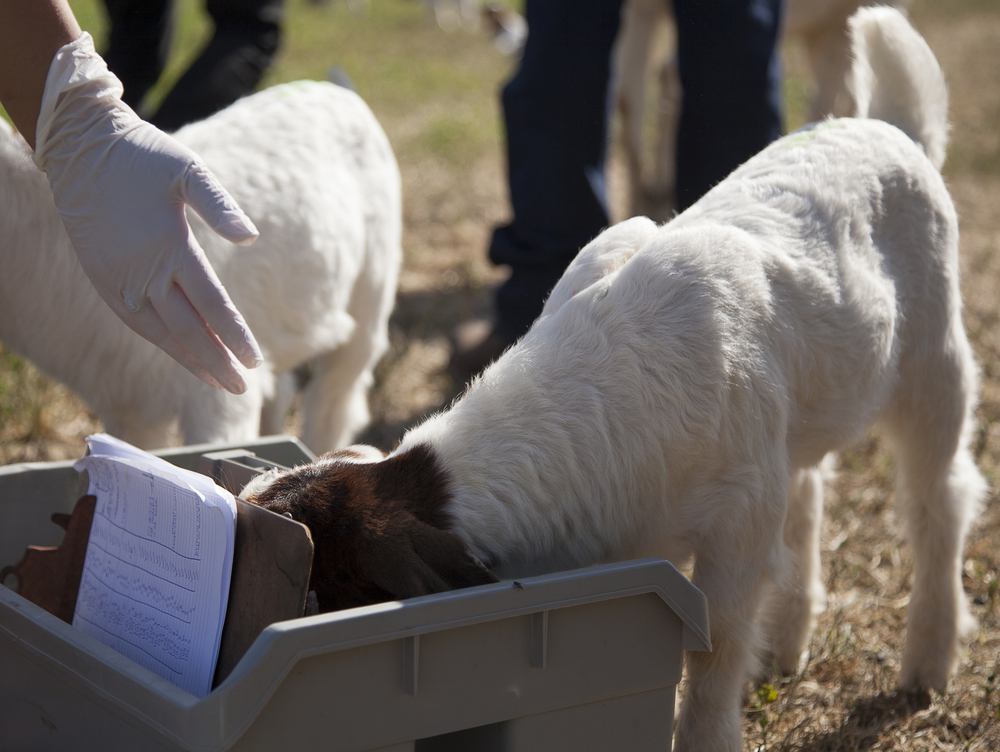 A baby goat goes through a medical tote during a routine physical exam at the Pierce farm on Friday, March 20, 2015. Woodland Hills, Calif.  Read the full story here