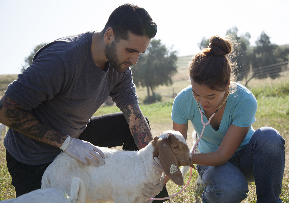 Ben Singh keeps a baby goat steady while Yuri Foreman checks its heartbeat during a physical exam at the Pierce farm on Friday, March 20, 2015. Woodland Hills, Calif.  Read the full story here