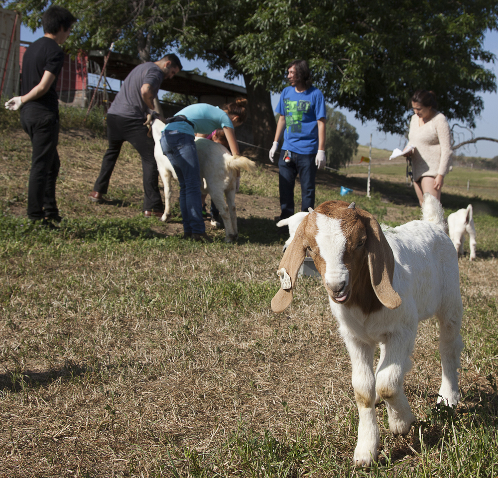 Goats are free to roam and pasture at the Pierce farm while students perform routine examinations in the background on Friday, March 20, 2015. The animals are all rounded up around 7pm and put into their pens to protect them from coyotes.  Read the full story here