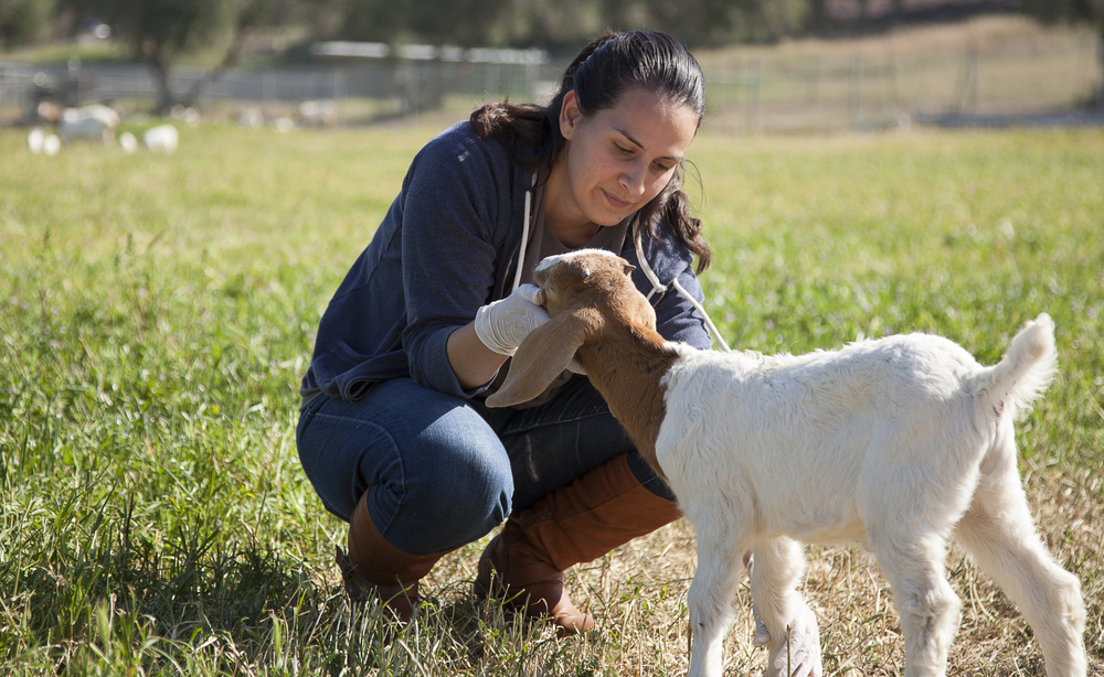 Georgina Martinez checks the ears of a baby goat at the Pierce farm on Friday, March 20, 2015. Woodland Hills, Calif.  Read the full story  here