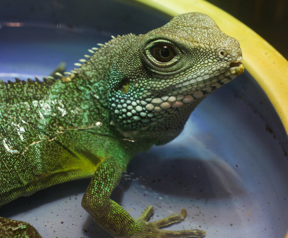 Asian Water Dragon (Physignathus cocincinus)