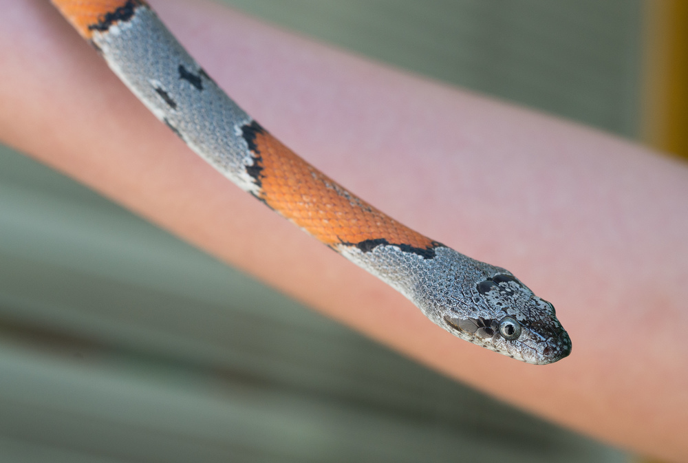 Grey-banded Kingsnake (Lampropeltis alterna blairi)